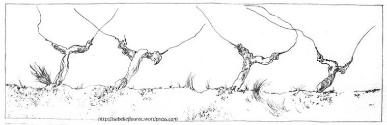 """""""Ceps"""" - Extrait de la planche """"La taille"""" - Isabelle Flourac - Carnet de vigne réalisé au Vignoble de l'Atrie, Vendée."""